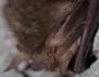 Žiemojantis rudasis ausylis
