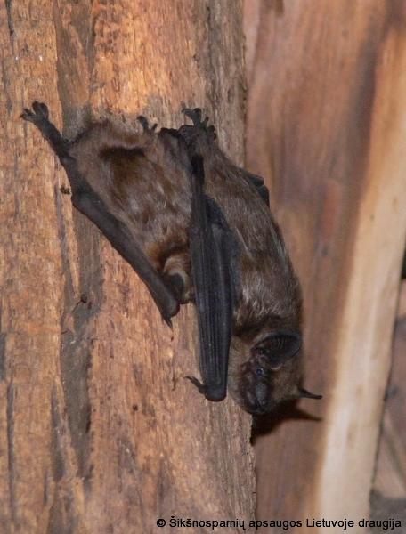 geresnės alternatyvios prekybos sistemos šikšnosparniai
