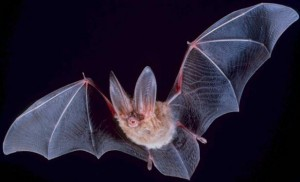 Šikšnosparniai - vieninteliai skraidantys žinduoliai