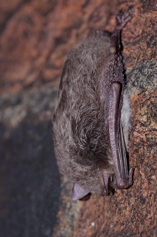 Kudrinis Pelėausis Nomedos Vėlavičienės Nuotrauka Kudrin Bat