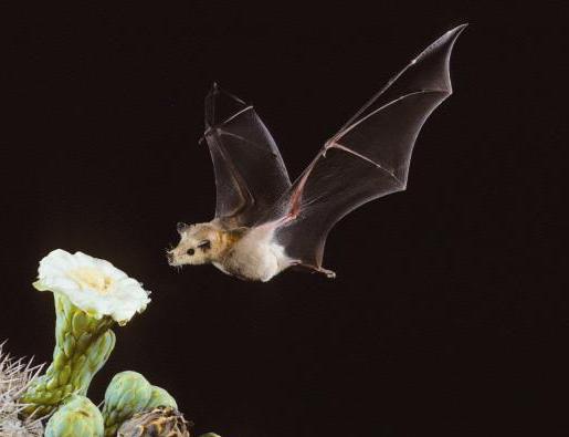 Kaktuso nektaru mintantis šikšnosparnis