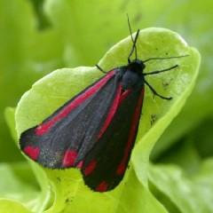 Raudonsparnė meškutė (Tyria jacobaeae). Keith Edkins nuotrauka
